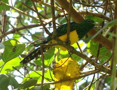 African emereld Cuckoo