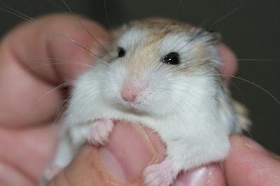 Jenis Hamster Roborovski