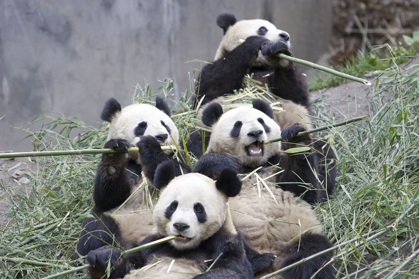 Group of pandas eating bamboo