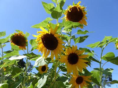 山田池公園の向日葵