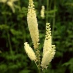 Cimicifuga racemosa medicinal