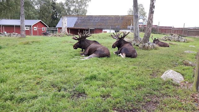 Natur erleben in Schweden: Elche anfassen