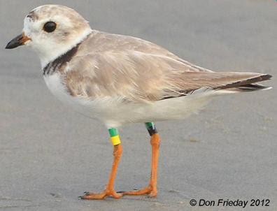 Audubon Alliance for Coastal Waterbirds: Marked Piping
