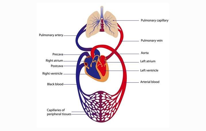 Sistem Peredaran Darah Sirkulasi Manusia Ilmu Dasar