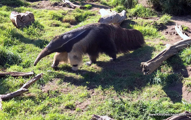 best place in ca to see an anteater