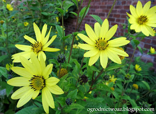Słonecznik 'Lemon Queen'- Helianthus 'Lemon Queen'