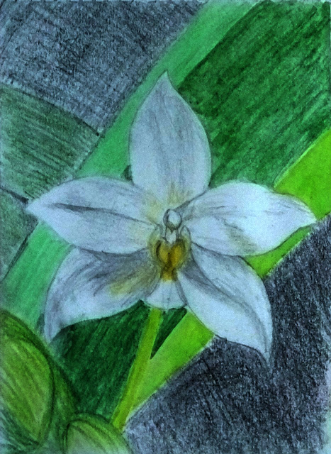 Colored pencil drawing of orchid