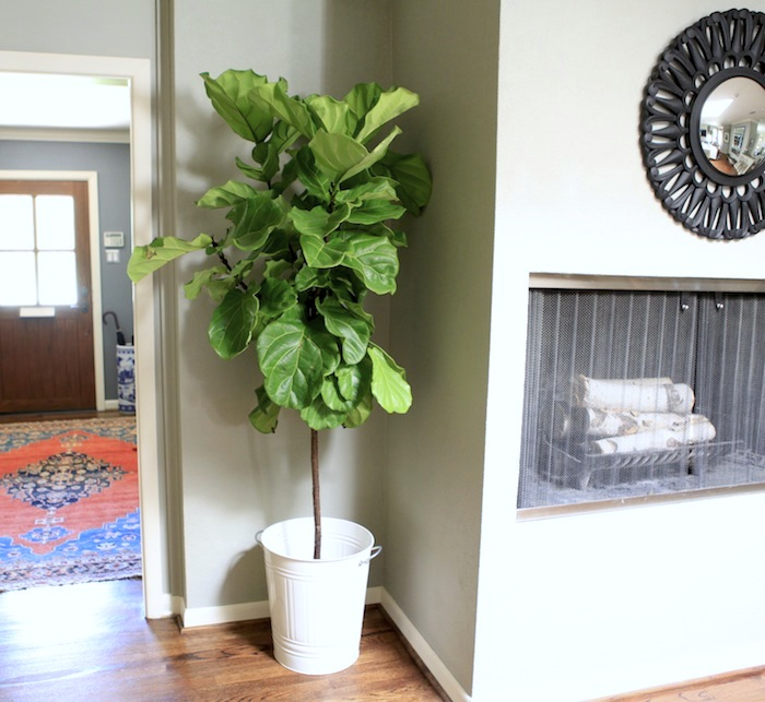 Planters For My Fiddle Leaf Fig Trees