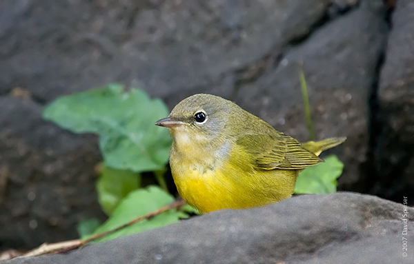 Marie Winn's Central Park Nature News: Mourning Warbler!