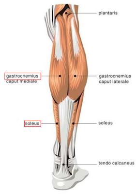 gastrocnemius soleus