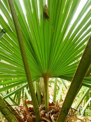Botaniquarium - Trachycarpus fortunei leaf