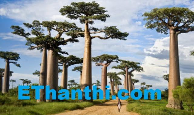 ஆப்பிரிக்காவின் மிக வினோதமான மரம்   Africa's most bizarre tree !