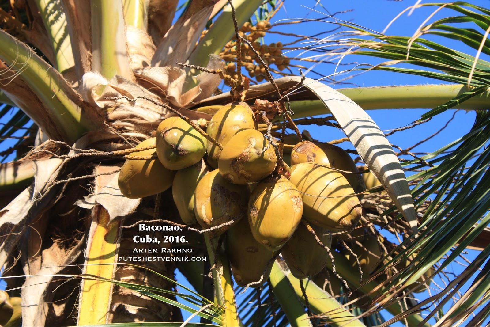 Кокосы на пальме в Баконао