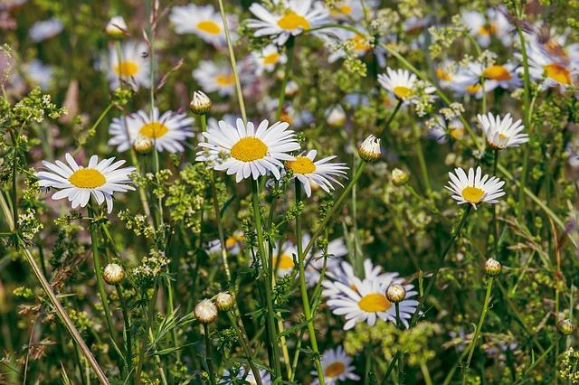 hoa cúc trắng đẹp