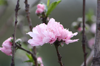 Helen Borcher Flowering Peach