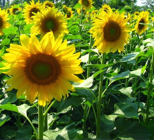 Manfaat tanaman Bunga Matahari