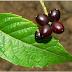 Această plantă distruge 70% din TUMORILE MALIGNE ALE CANCERULUI DE SÂN! Iată despre ce este vorba