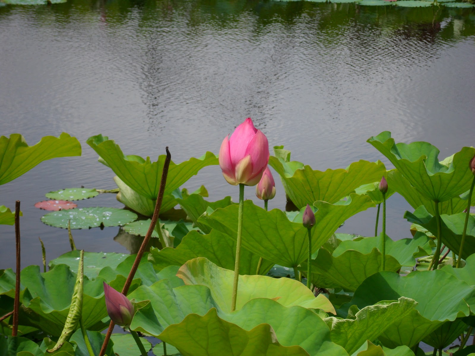 Lotus Flower Growing Locally