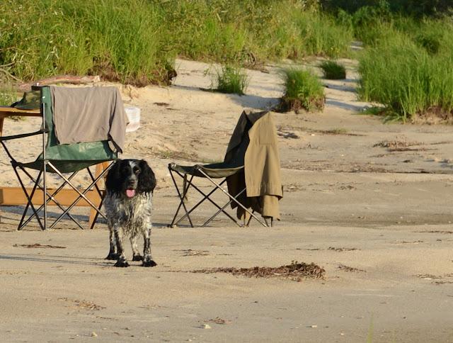 Охотничья собака - спаниель