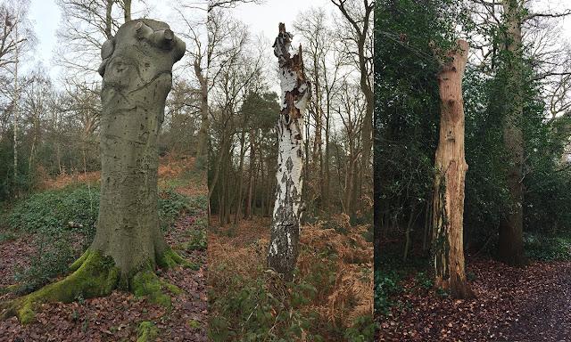 Three monolithic trees.  Hayes Common and West Wickham Common, 24 December 2016.