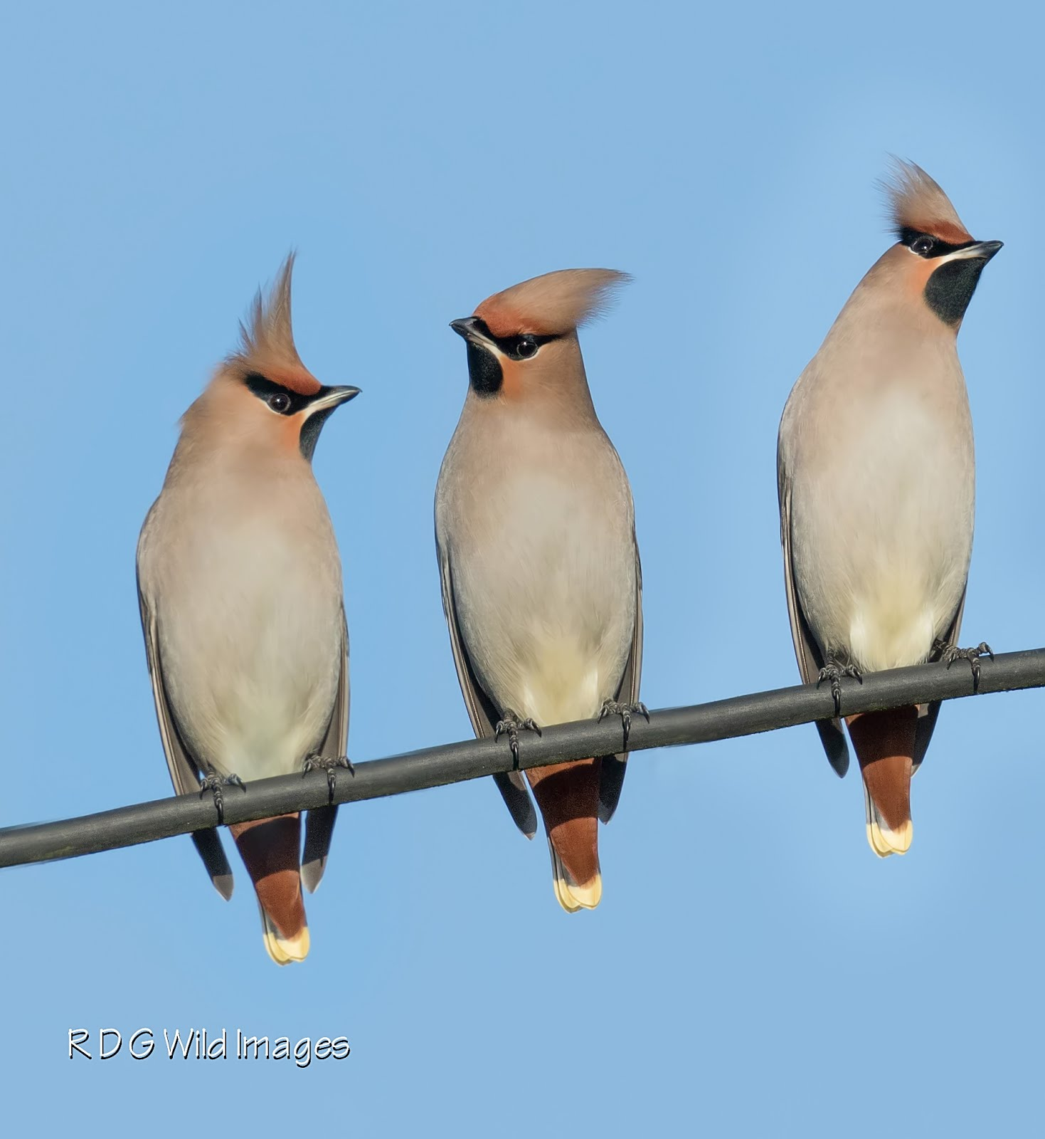 Waxwing montage