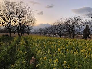 呉羽山公園都市緑化植物園の菜の花畑と柴犬ゆき富山