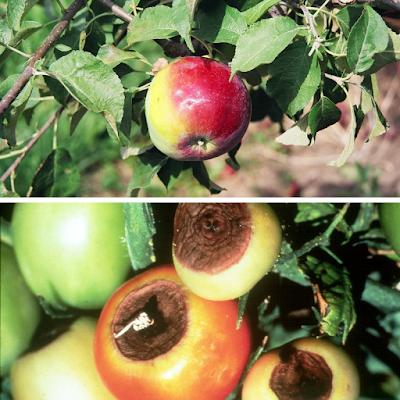 thiếu canxi ở cây táo và cà chua