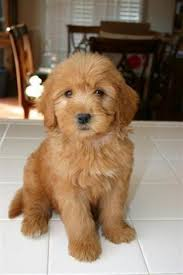 My K-9 Breeds Info: Miniature Goldendoodle: Overview