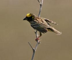 Burung jenis ini hidup dan berkembangbiak di wilayah Asia Tenggara Mengenal Burung Manyar, salah satu burung dengan sarang paling rumit