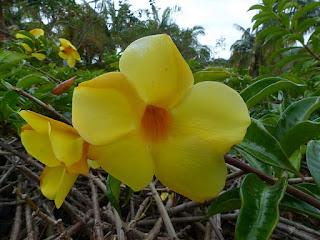 Allamanda jaune - Orélie de Guyane - Trompette d'or - Allamanda cathartica