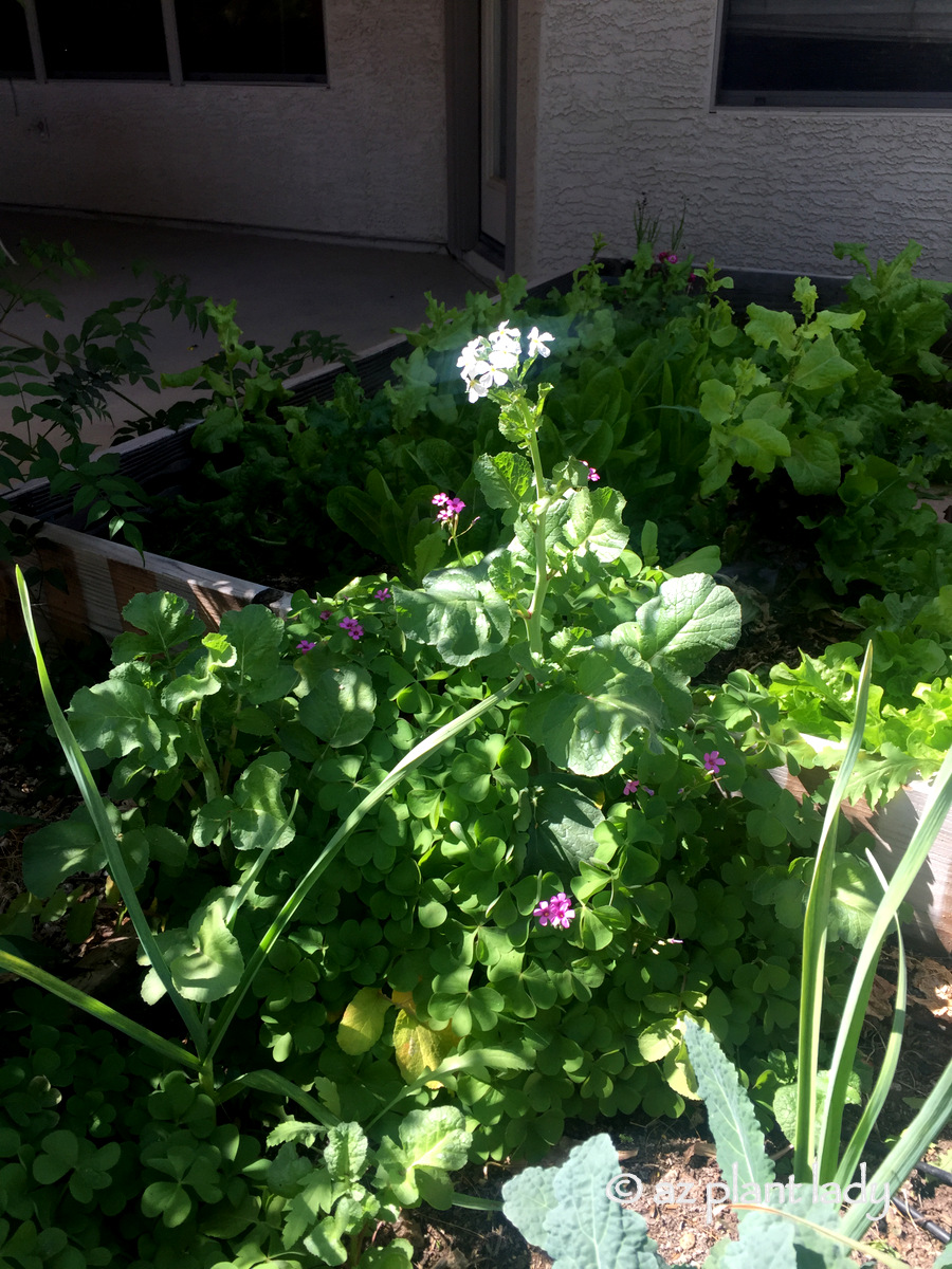 Mystery flower in the vegetable garden ramblings from a desert garden mystery flower in the vegetable garden mightylinksfo