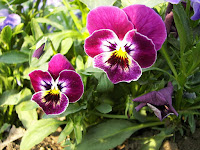 Popularmente conhecida como amor-perfeito e erva-trindade e oficialmente como viola tricolor. Suas flores podem ser roxas, azuis, amarelas ou brancas.  É uma pequena planta rasteira que atinge no máximo 15 cm de altura, com flores de cerca de 1,5 cm de diâmetro. Floresce de Abril a Setembro.