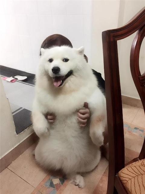 Chú chó samoyed béo ú nụ