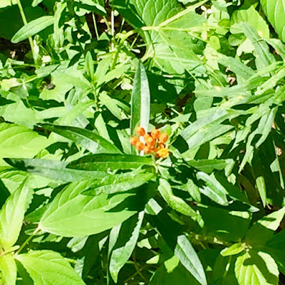 butterfly weed flower buds