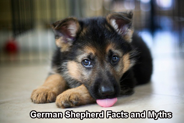 German Shepherd Facts and Myths