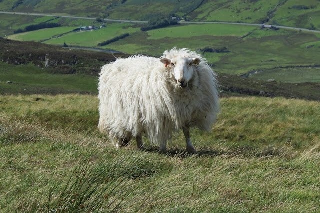A white, long-haired sheep staring into the camera, its wool blown by the wind.