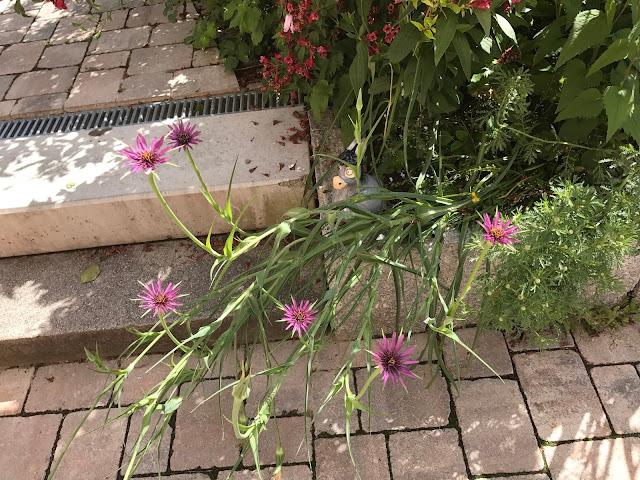 Auch auf der Terrasse blühen Haferwurzeln (c) by Joachim Wenk