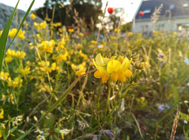 wild flowers. Moycullen