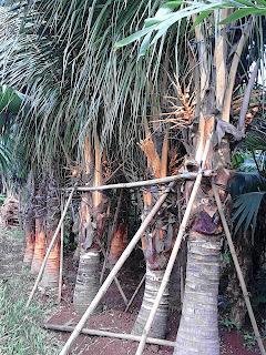 jual pohon kelapa kuning hias