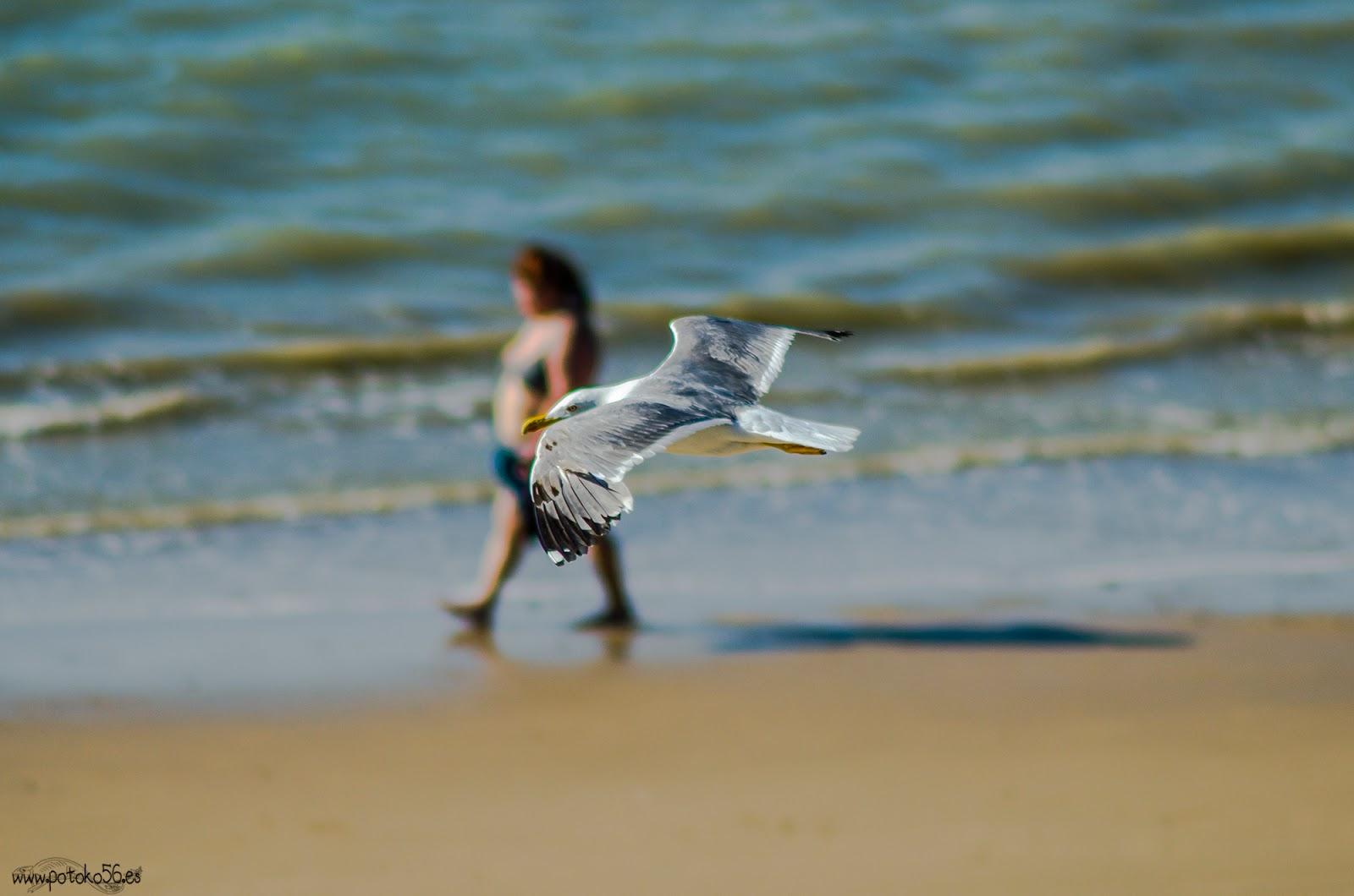 Playa del Chorrillo Rota Gaviota y caminante por la orilla