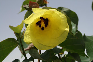 Sekilas Tentang Bunga Waru Serta Khasiat Daunnya
