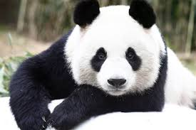Urso panda, fofo como uma pelúcia