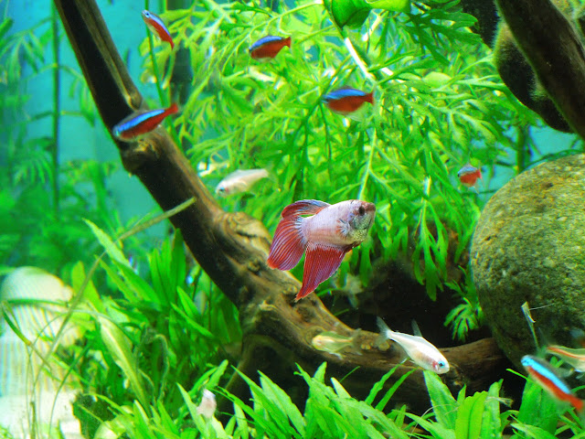 Spiffy pet products betta fish tank setup ideas that make for Fish that get along with betta