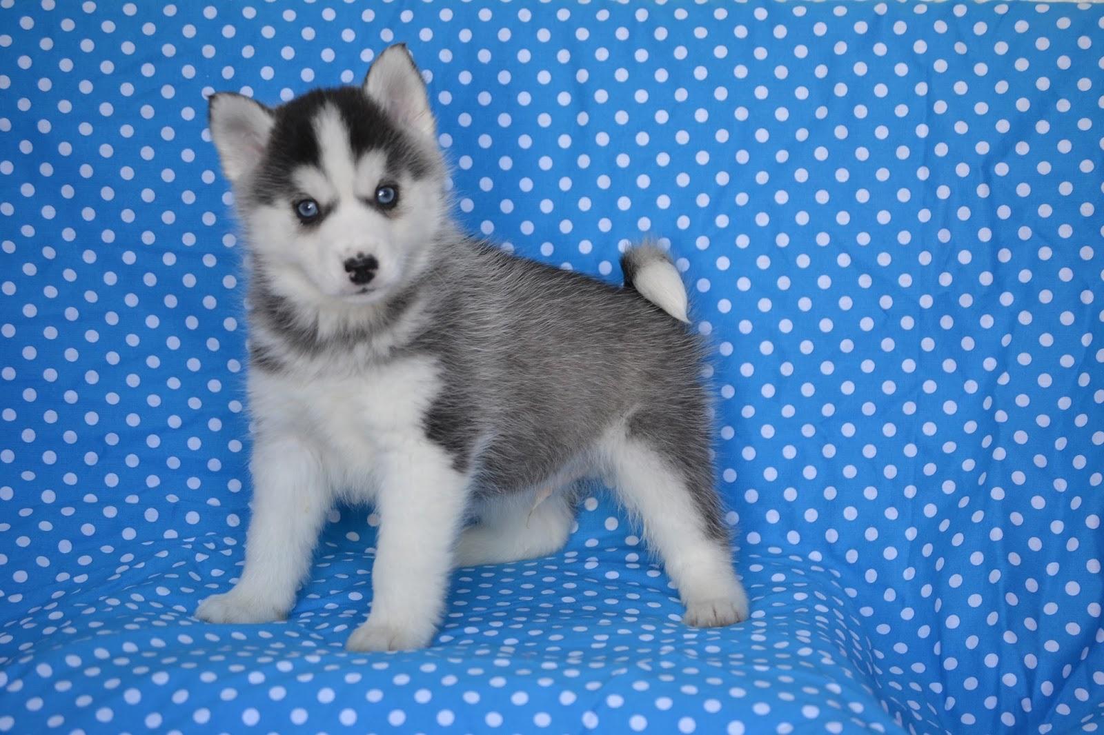 Pomsky Puppies For Sale Nova Scotia Canada