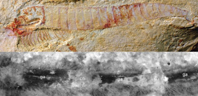 520 million-year-old fossilised nervous system is most detailed example yet found