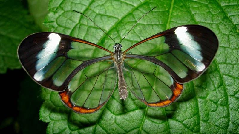 kupu-kupu transparan