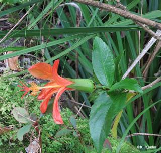Hibiscus kokio, Hawaii