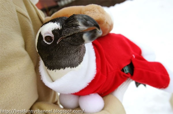 Funny Christmas penguin.