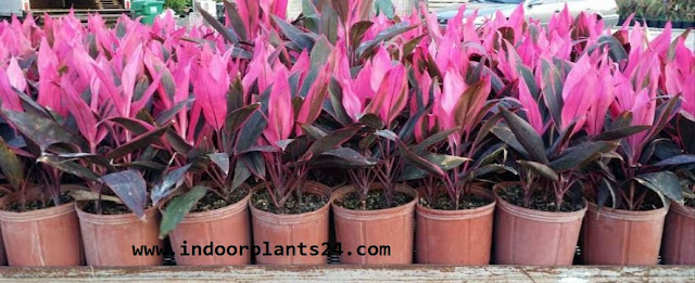 Cordyline Fruticosa indoor house plant