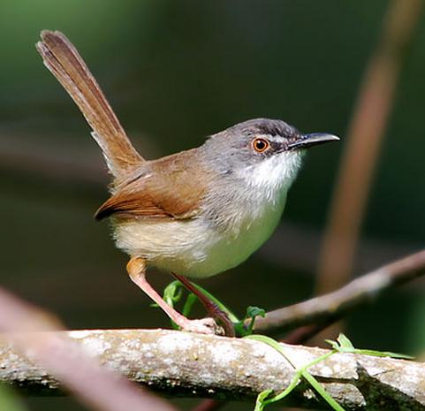 Nama ciblek belukar sendiri aku peroleh dari sebuah lembaga kicau mania yang ada di Malays Suara Burung Ciblek Belukar untuk Masteran